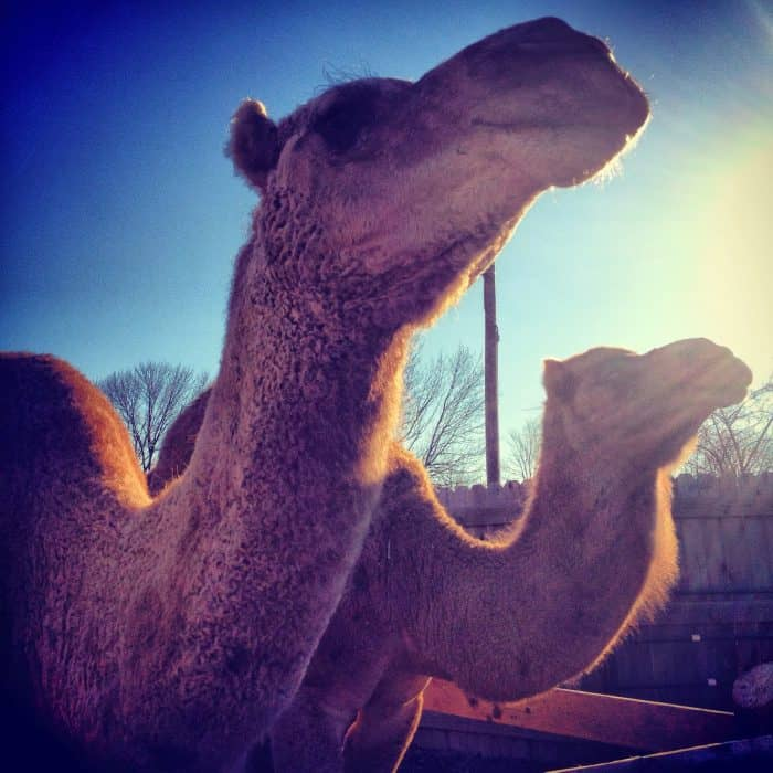 camels at the Creation Museum