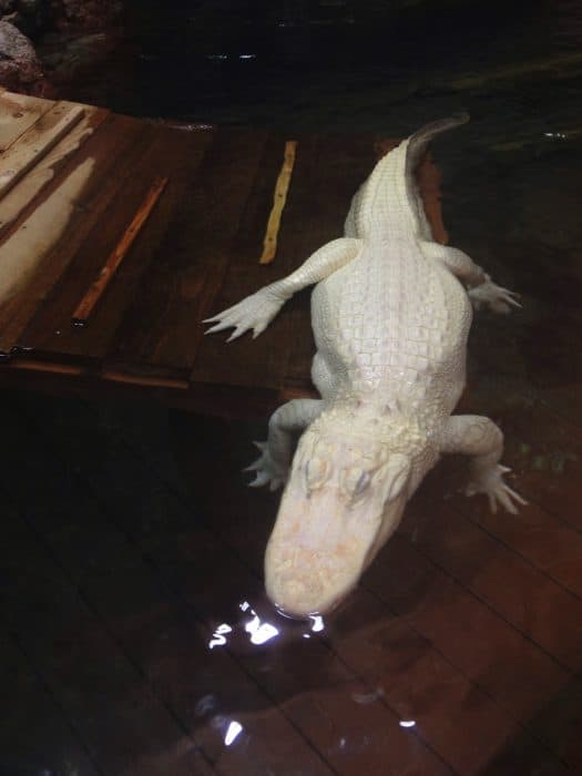Scuba Santa's Water Wonderland Featuring Rare White American Alligators Newport Aquarium in Kentucky
