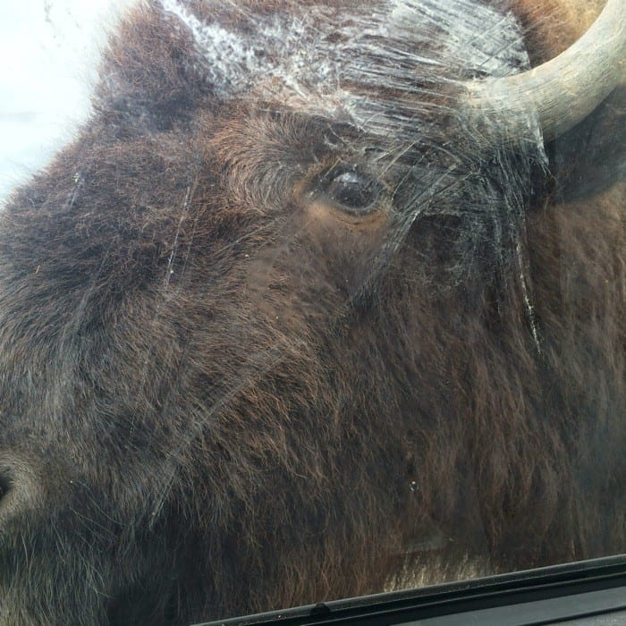 Bison African Safari Wildlife Park