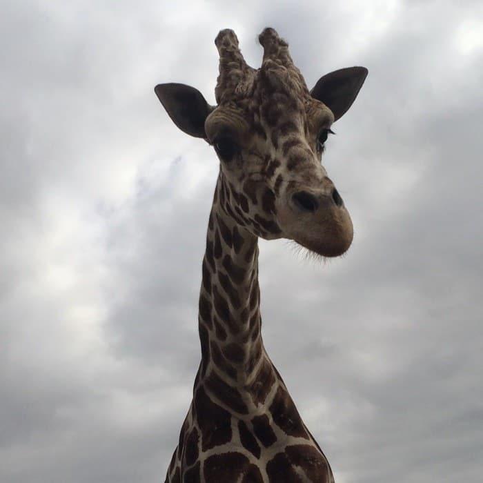 Giraffe African Safari Wildlife Park