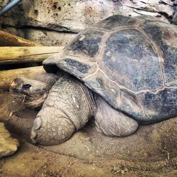 Bravo the Galapagos Tortoise