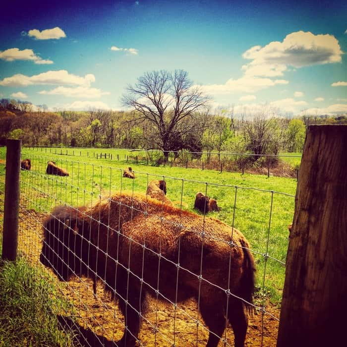 Bison herd at Big Bone Lick Historic Park