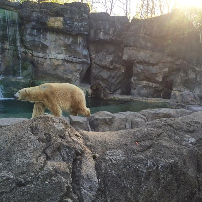 polar bear at the Cincinnati zoo