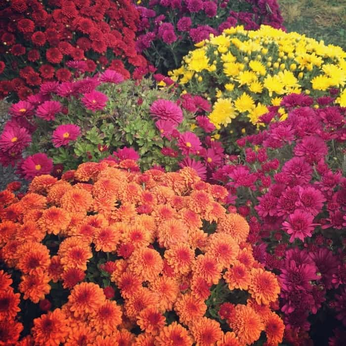 Blooms and Berries Farm Market Mums
