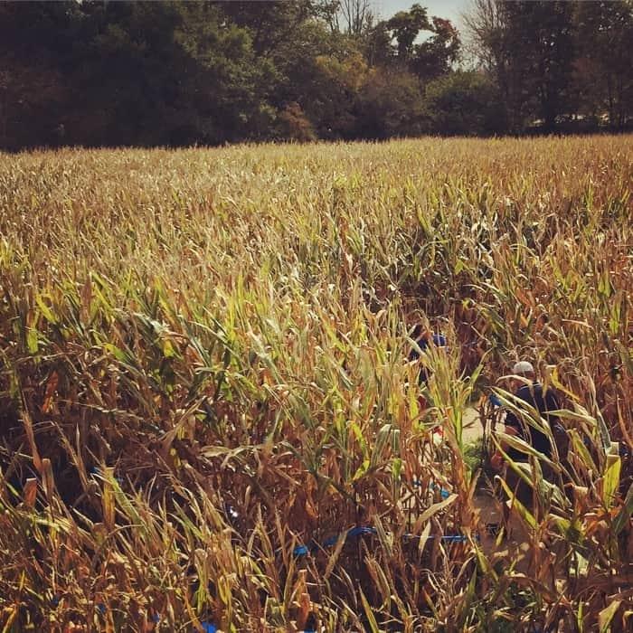 Blooms and Berries Farm Market Corn Maze