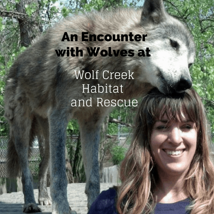 An encounter with wolves at Wolf Creek Habitat and Rescue