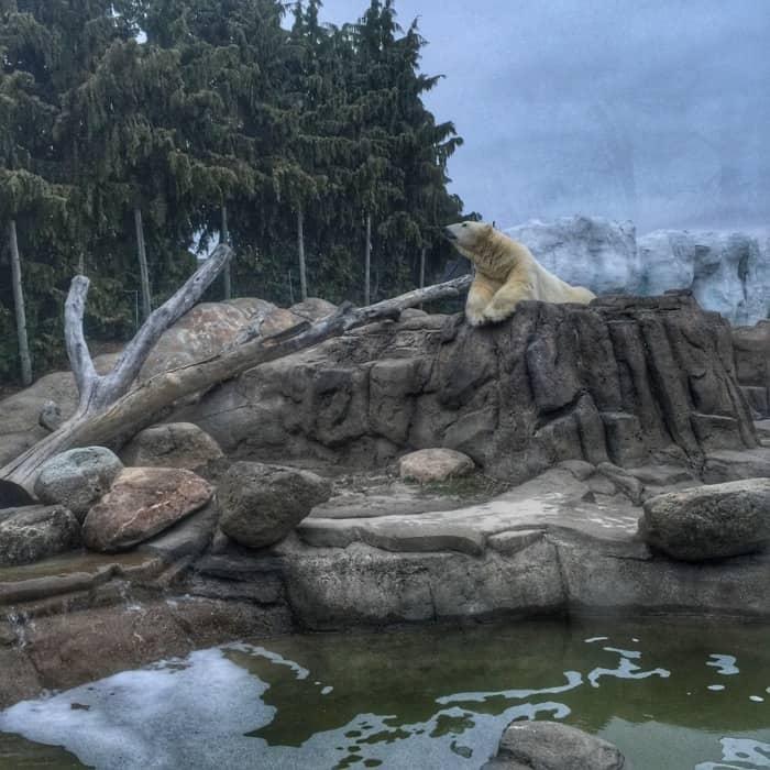 Polar Bear at the Toledo Zoo