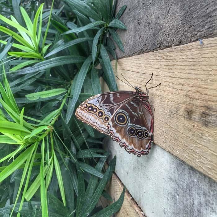 Butterflies of the Caribbean 11