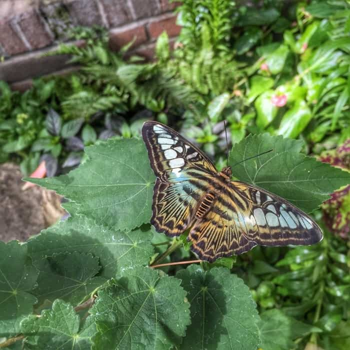 Butterflies of the Caribbean 15