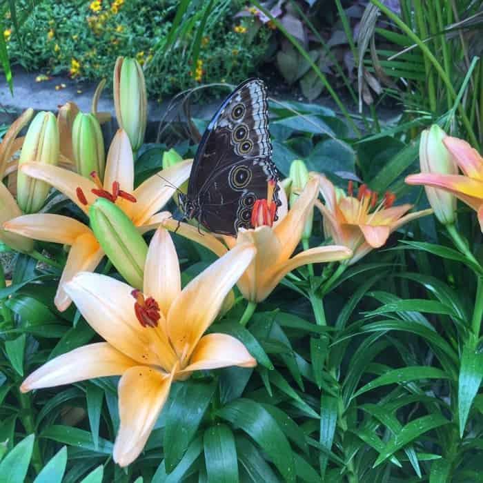 Butterflies of the Caribbean 16
