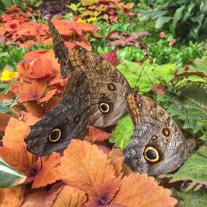 Butterflies of the Caribbean 18