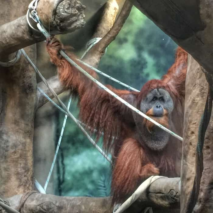 Orangutan at Fort Wayne Children's Zoo