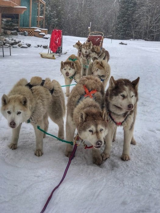 dog-sledding-northern-michigan-shanty-creek-resort