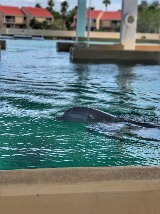 Dolphin in Clearwater, FL