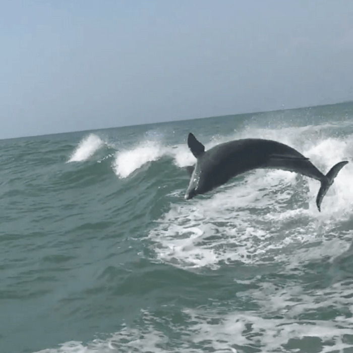 Dolphin in the wild sighting from The Sea Screamer in Clearwater, FL