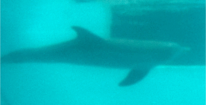 "Winter from the movie ""Dolphin Tale"" of Clearwater Marine Aquarium in FL"