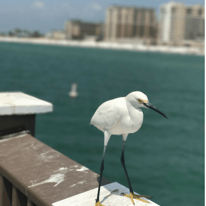 Bird at Pier 60 in Clearwater, FL