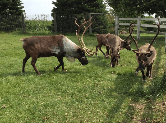 Hardy's Reindeer Ranch in Rantoul, IL