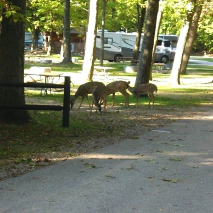 deer at campground at Ludington State Park