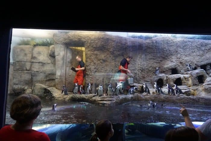 penguin-exhibit-ripleys-aquarium-smokeys