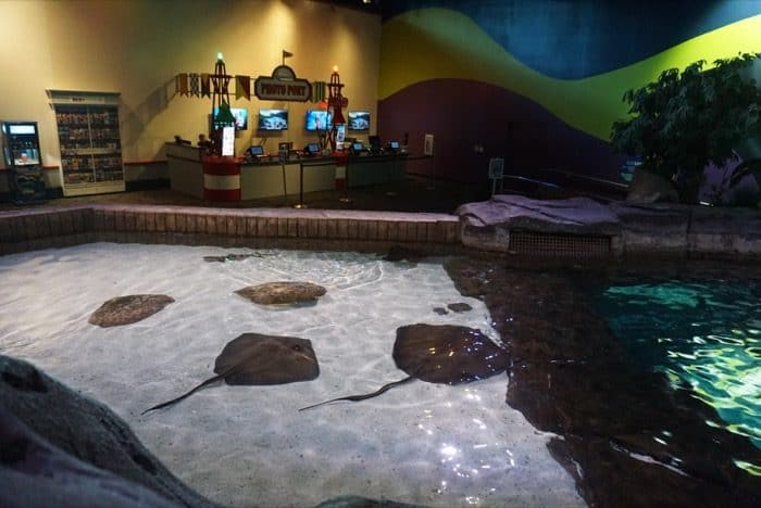 sting-rays-ripleys-aquarium-smokeys