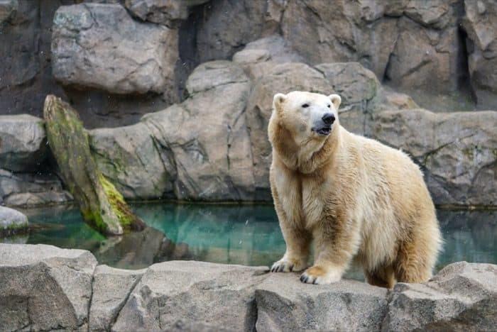 polar bear at the Cincinnati Zoo