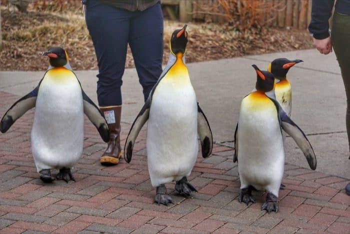 Penguin Parade at the Cincinnati Zoo