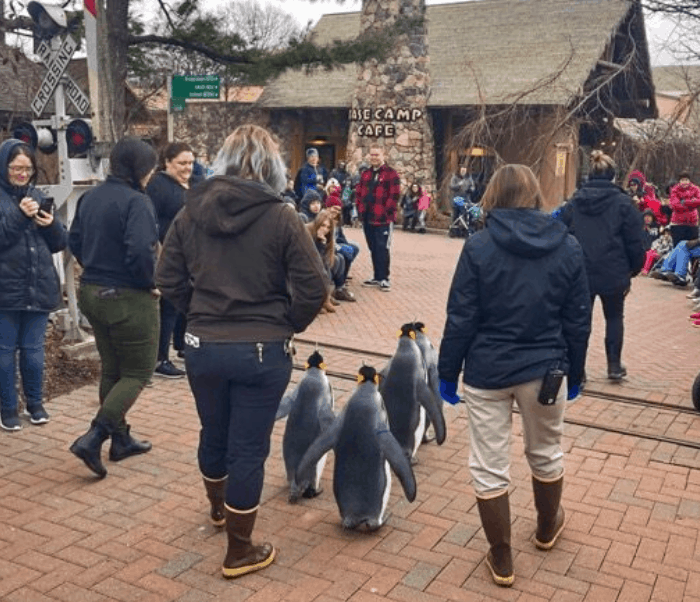 penguin parade at the Cincinnati Zoo in the Winter