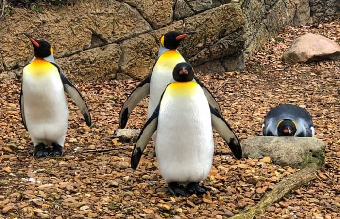 penguins at the Cincinnati Zoo in the Winter
