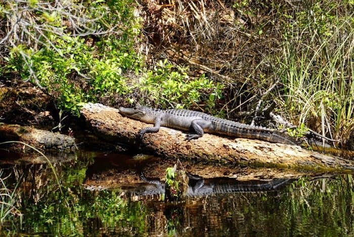 Alligator on Nature's Way Trail at Gulf Islands National Seashore at Davis Bayou in Ocean Springs, MS