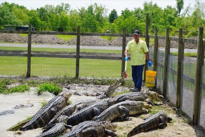 feeding alligators at Greenwood Gator Farm