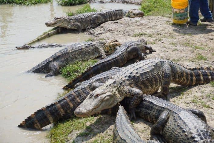 alligators at Greenwood Gator Farm