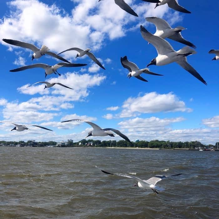 Seagulls in Biloxi, Mississippi