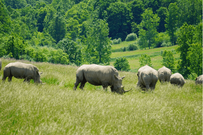 rhinos at The Wilds in Ohio