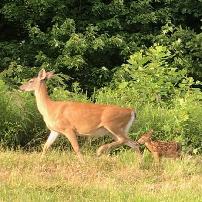 mother deer and baby deer at Cliffview Resort