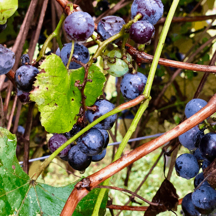 grapes on the vine at Rowe Ridge Vineyard & Winery in Kansas City Kansas