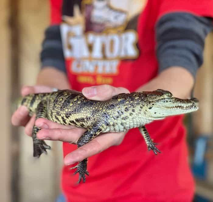 small alligator at Gator Country Wildlife Adventure Park