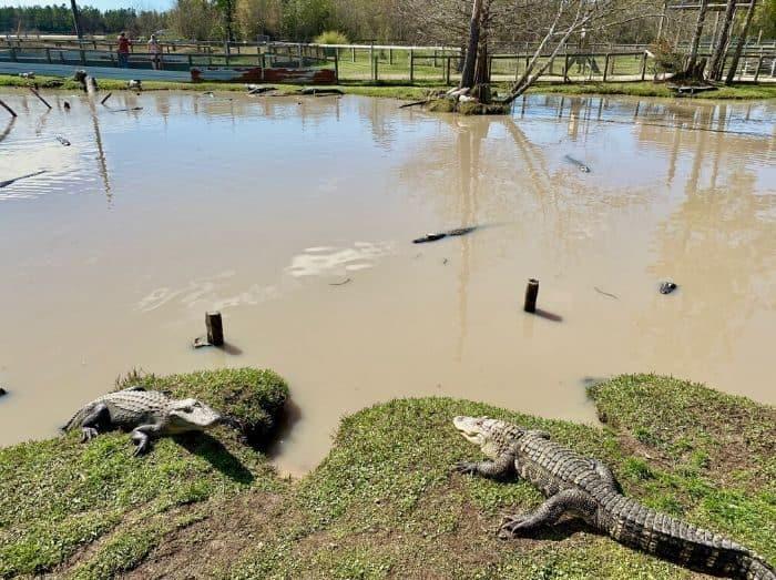 gators at Gator Country Wildlife Adventure Park