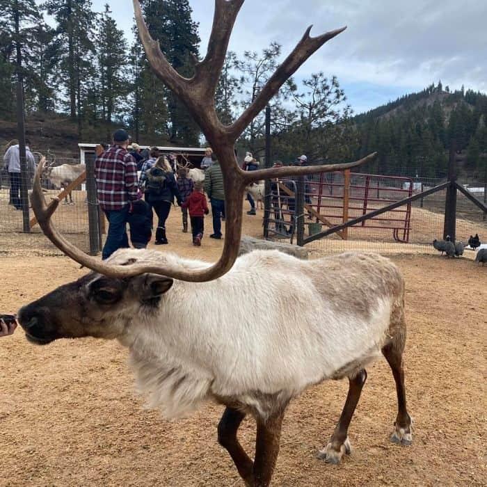 reindeer at Leavenworth Reindeer Farm