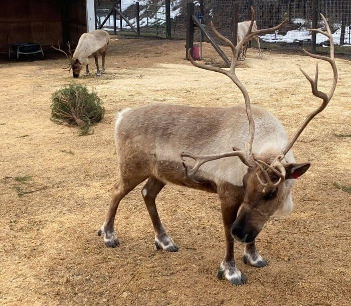 reindeers at Leavenworth Reindeer Farm