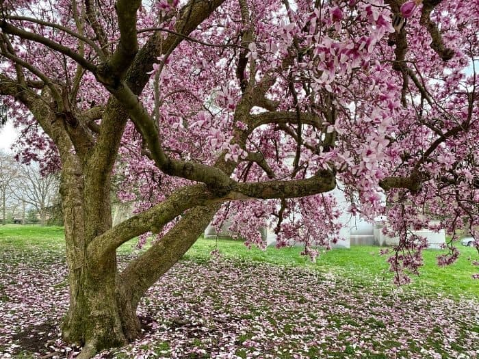 beautiful trees at Spring Grove Cemetery and Arboretum