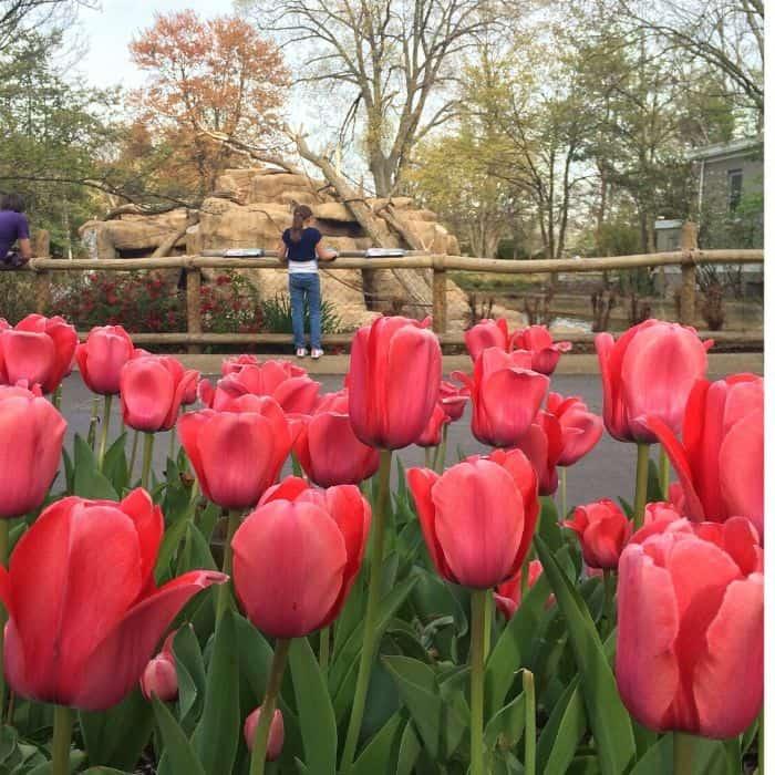 tulips at Cincinnati Zoo