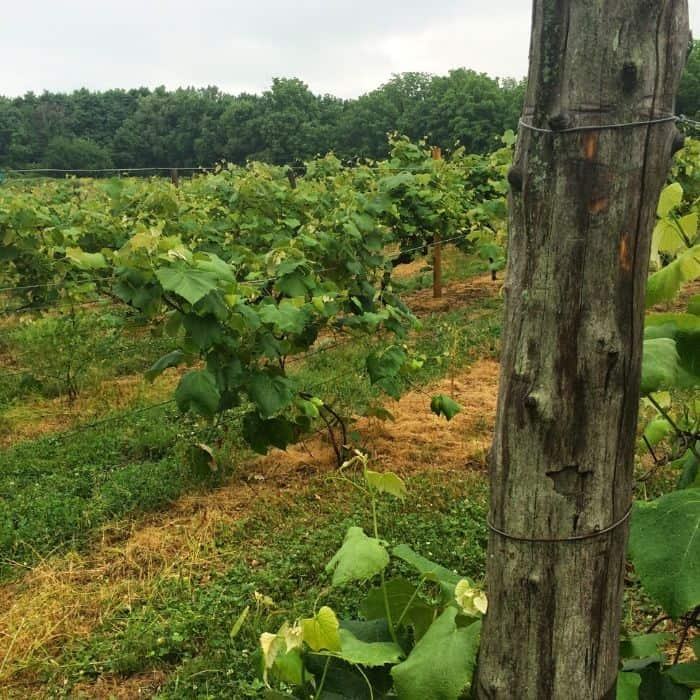 vineyard on Put in Bay Island