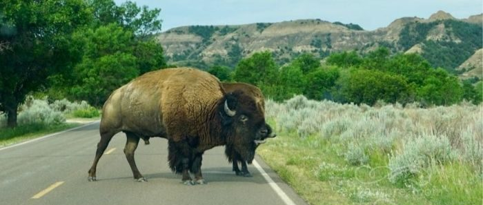bison at Theodore Roosevelt National Park South Unit in North Dakota