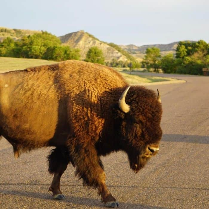 bison at Theodore Roosevelt National Park in North Dakota