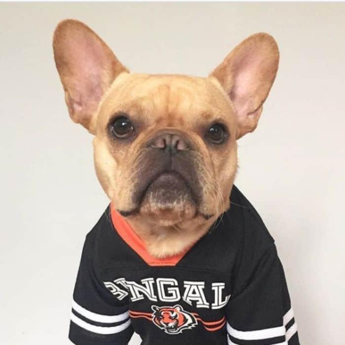 french bulldog Vince Cincy in Cincinnati Bengals shirt