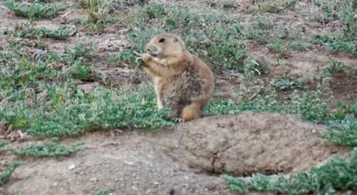 prairie dog at Theodore Roosevelt National Park in North Dakota