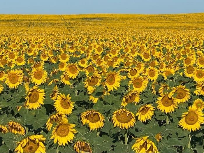 sunflowers in North Dakota