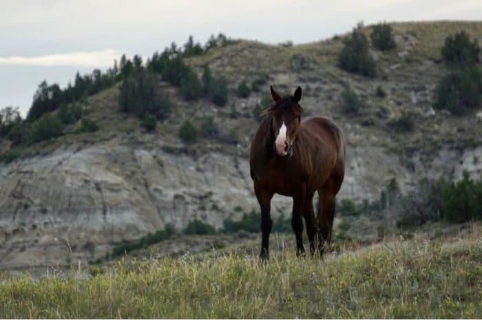 wild horse at Theodore Roosevelt National Park South Unit in North Dakota