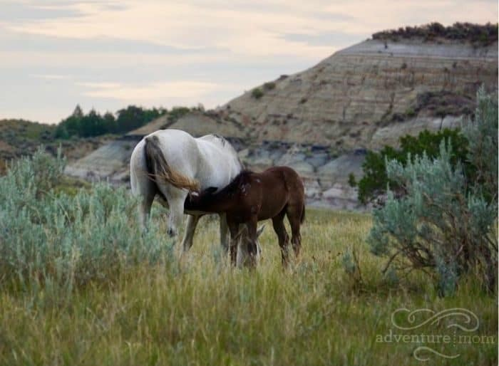 wild horse with its mother at Theodore Roosevelt National Park South Unit in North Dakota